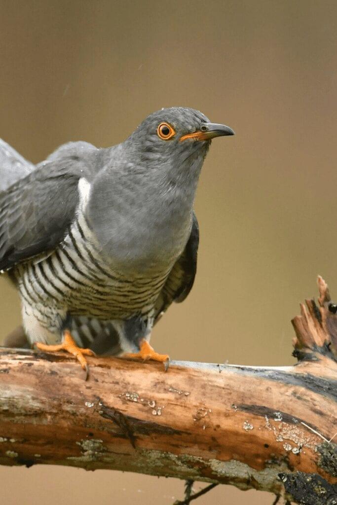 the Cuckoo photo